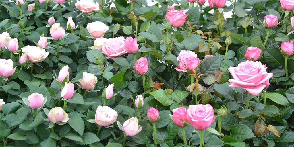 Inför Morsdag finns fina rosor.